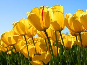 Ternyata Ini Asal Bunga Tulip Sebelum menjadi Bunga Khas Belanda