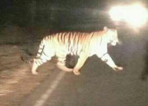7 Harimau Sumatra di Kerinci Turun Gunung, Satu Warga Diserang