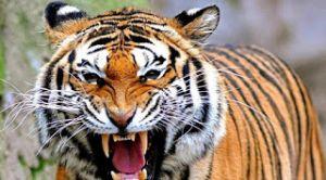 Heboh, Harimau Tidur-tiduran di Aspal, Kepala BKSDA: Sudah Dihalau Masuk TNKS