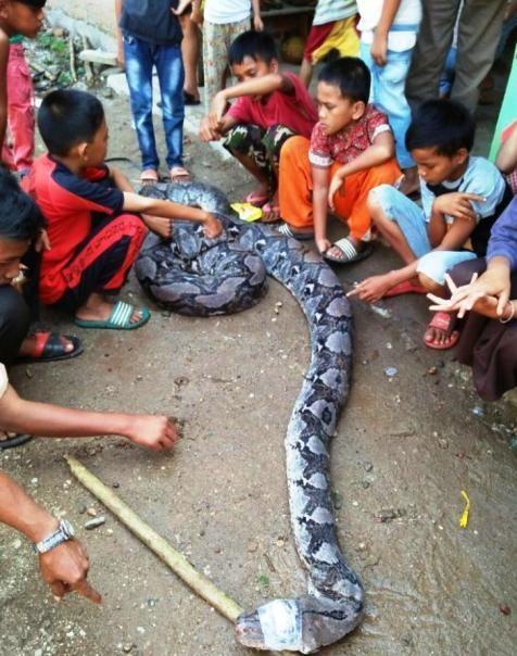 ular piton yang berhasil ditangkap warga