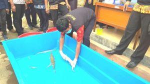 Nah... 14 Ekor Ikan Dimusnahkan BKIPM Karena Dianggap Berbahaya