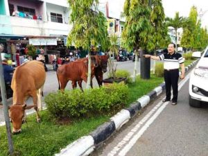 Sapi Berkeliaran di Tengah Kota Bungo Ancam Keselamatan Pengendara