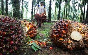 Masuki Usia Tak Produktif, Puluhan Ribu Hektar Tanaman Sawit Diremajakan