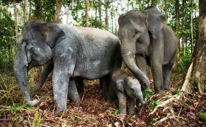 Melestarikan Gajah, Memberikan Lahan untuk Datuk Gedang