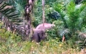 BKSDA Jambi Segera Kembalikan 3 Ekor Gajah yang Resahkan Warga ke Habitatnya