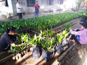 Minat Warga Buka Kebun Pinang Tinggi Dongkrak  Penjualan Bibit di Tanjabtim