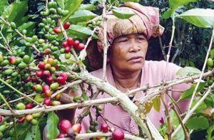Harga Terus Melorot, Petani Kopi Harapkan Campur Tangan Pemerintah