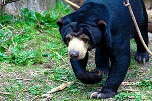 Petani di Tanjabbar Diserang Beruang saat Akan Pulang ke Rumah
