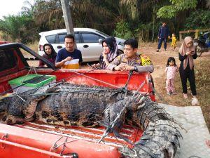 BKSDA Bersama Polsek Sungai Gelam Evakuasi Satu Ekor Buaya di Talang Kerinci