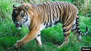 Lagi, Warga Merangin Diterkam Harimau, BKSDA Pasang Kamera Pemantau